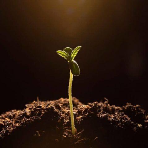 How do Cannabis Plants Produce Seeds?