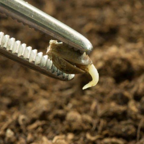 Cannabis Seed Germination Methods