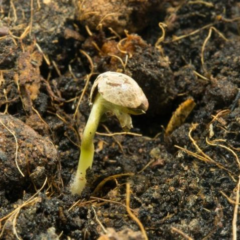 Anatomy of a Cannabis Seed
