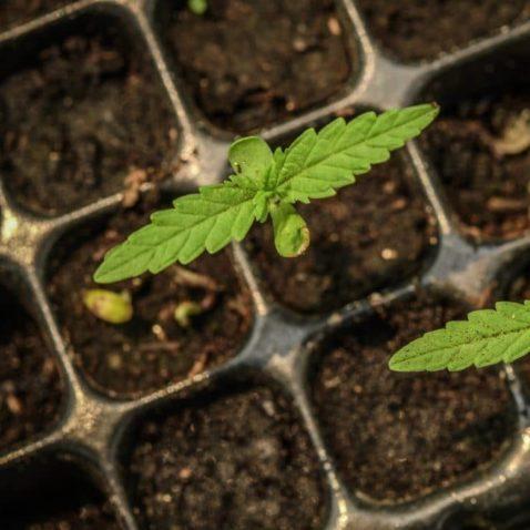 Cannabis Breeders