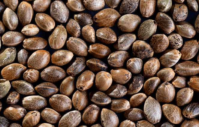Image of cannabis seeds used for how to germinate cannabis seeds guide.
