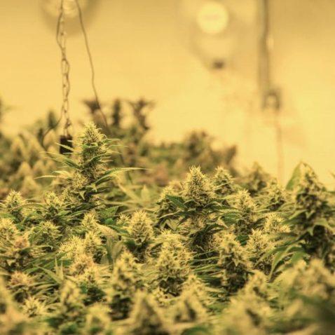 How to Harvest Marijuana Buds...The Big Day