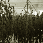 Drying Cannabis Flowers
