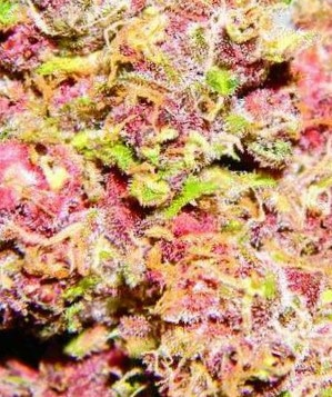Pink Candy Strain