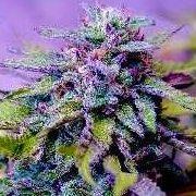Purple Dream Strain