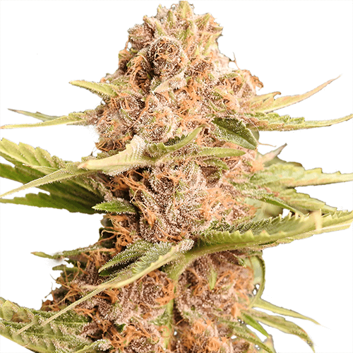 Girl Scout Cookies Extreme Strain