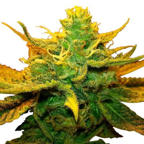 Cannabis Strains & Cultivation